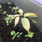 ライチの芽が出た!